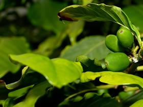 Naturally Green Coffee Berries